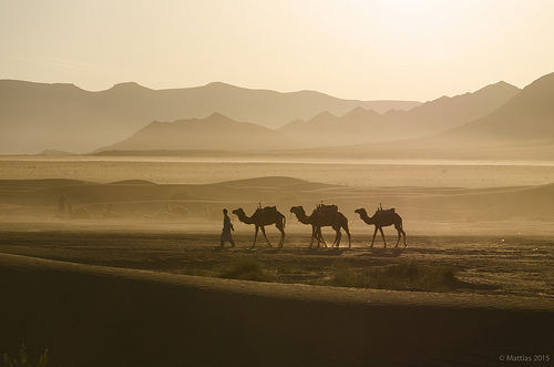 Desert Trip - A man with 3 camels walking in the desert